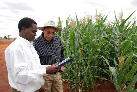 A farm manager and research discuss hybrid maize varieties in an experimental plot.