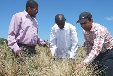 Wheat breeders score Ug99 stem rust symptoms at Njoro Agricultural Research Station, Kenya.