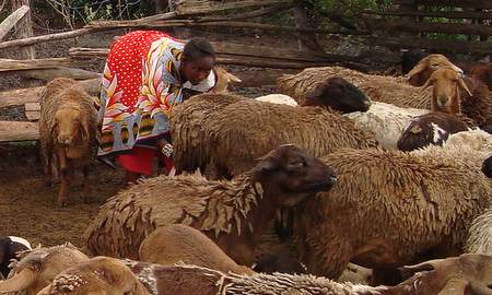 The worm-resistant red Maasai sheep of East Africa.