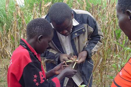"Never too young to learn: assessing a range of fodder and cereal crops that can be used as ""refugia"""