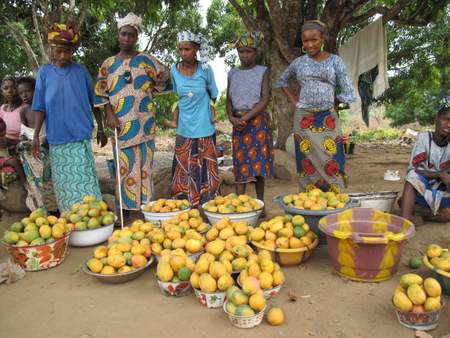 Agroforestry projects can yield big results, like this mango harvest. Photo: C. Pye-Smith (ICRAF)