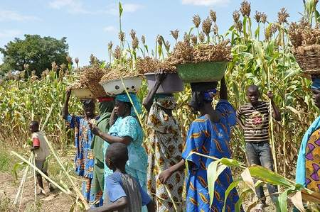 Harvesting new sweet sorghum varieties in Mali.  The versatile crop can be used as household food, fodder for livestock, and even a sustainable source of biofuel.