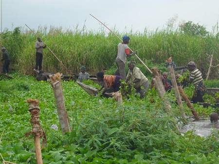 harvesting water hyacinth
