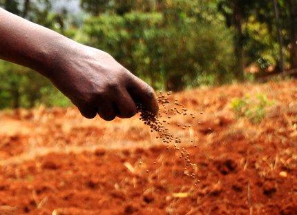 Kenya farmer fertilizing potato field
