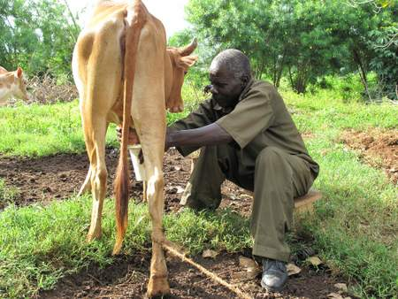 kenyan farmer with cow