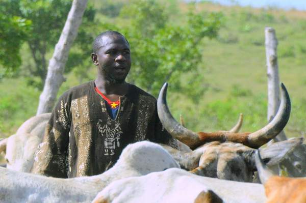 Young farmer herding his cattle in North-East Ghana