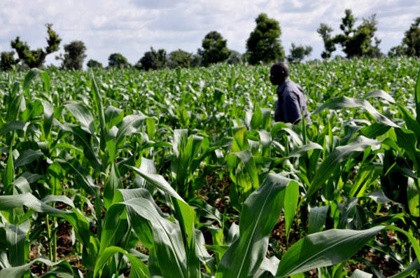 A Striga resistant maize crop in Ghana