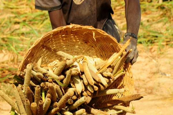 Farmer harvests pearl millet in Mali