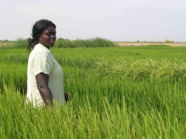 sahel-rice-field