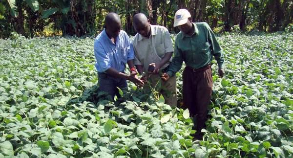 Agriculteurs dans un champ de soja